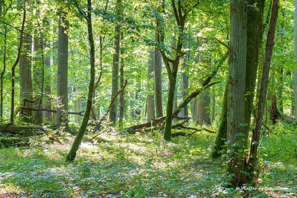 part jove de la zona restringida i reserva estricta de bialowieza