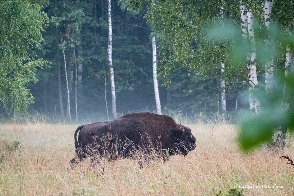 bisó europeu al parc nacional de bialowieza