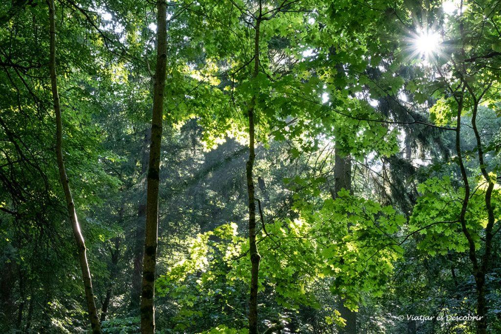 detalls del bosc primitiu i salvatge de bialowieza