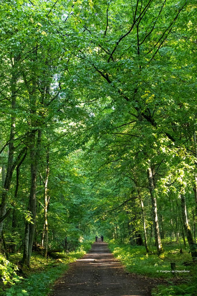 imatge vertical del bosc de bialowieza i un camí