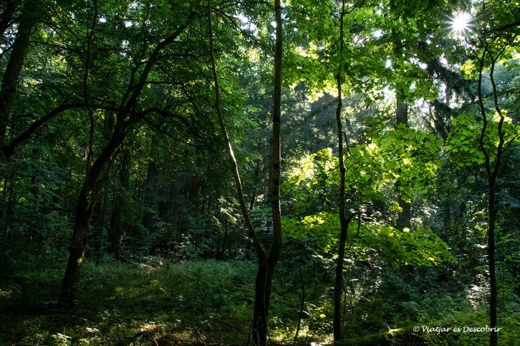 rajos de sol entre els arbres del bosc restringit de bialowieza