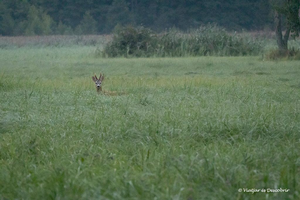 cabirol de matinada entre la vegetació a polonia