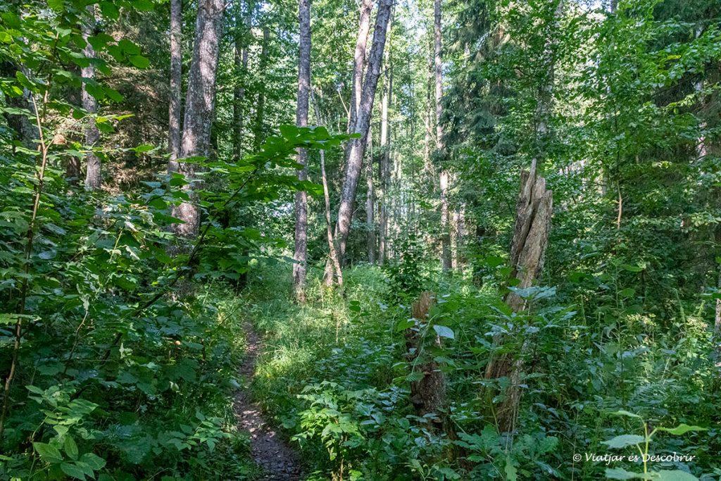 camí salvatge dins l'excursió llarga del bosc primitiu de bialowieza
