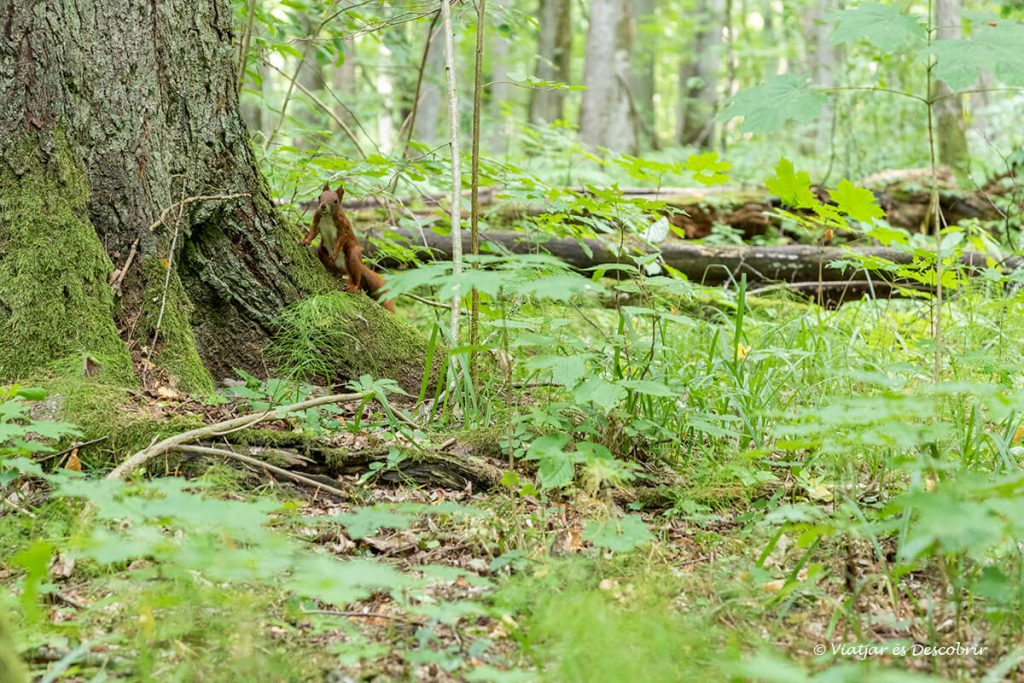 esquirol entre la vegetació al bosc de bialowieza