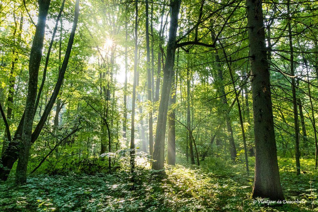 arbres i llum dins el bosc primitiu de bialowieza a polonia