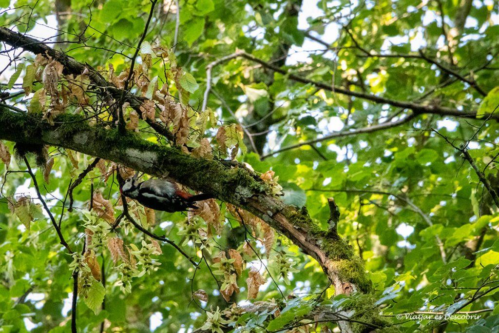 picot garser entre les branques d'un arbre del bosc