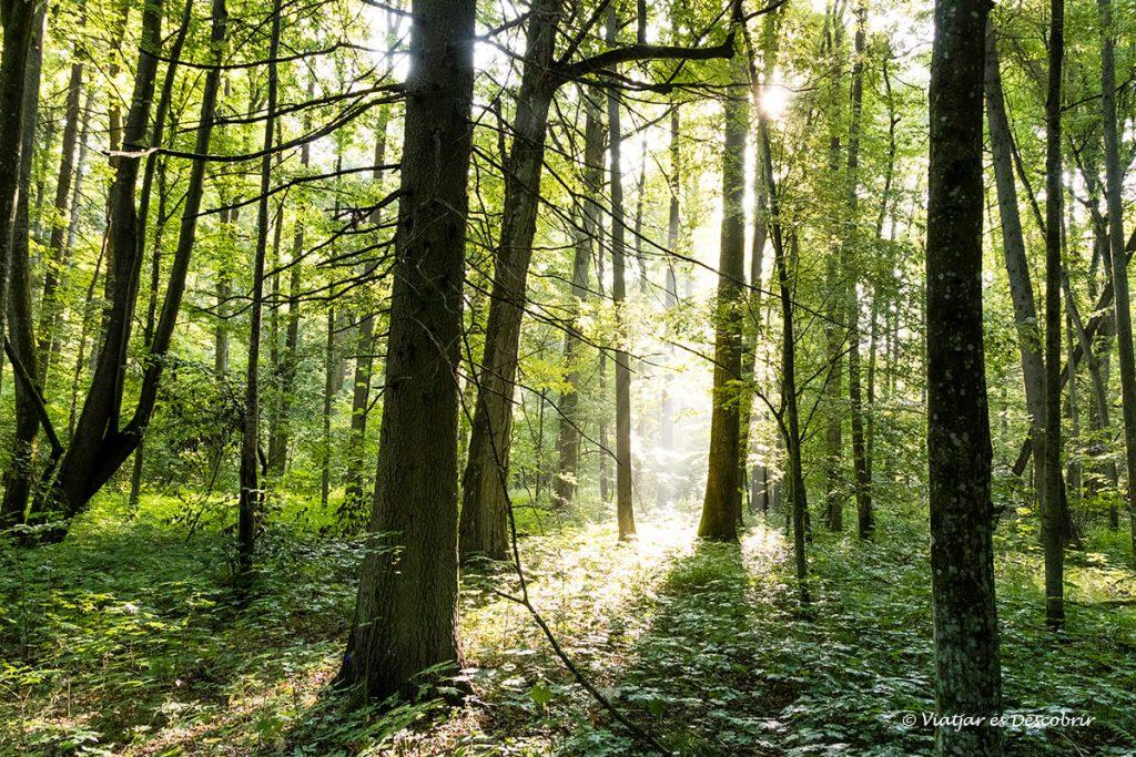 bosc primitiu de bialowieza amb les primeres llums del dia
