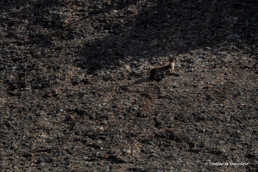 cabra salvatge camuflada entre el color de les roques